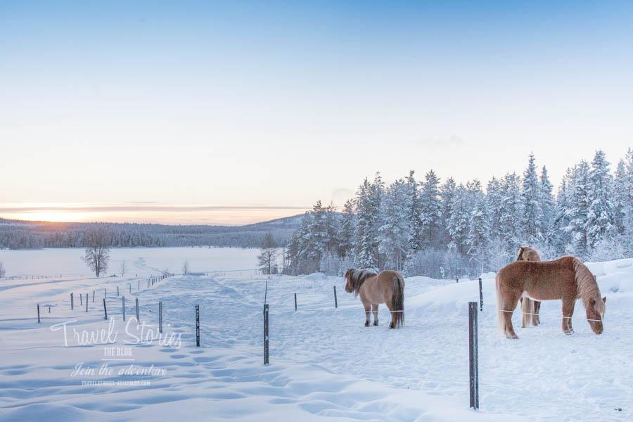 Aussicht vom Huskycamp Gasa: Islandpferde und die Weiten Schwedisch Lapplands ©Sabine Mey-Gordeyns