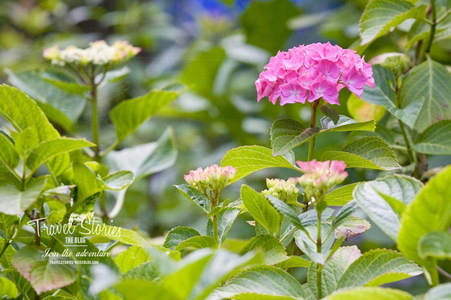 Hortensien gedeihen optimal im Halbschatten der Grachtengärten