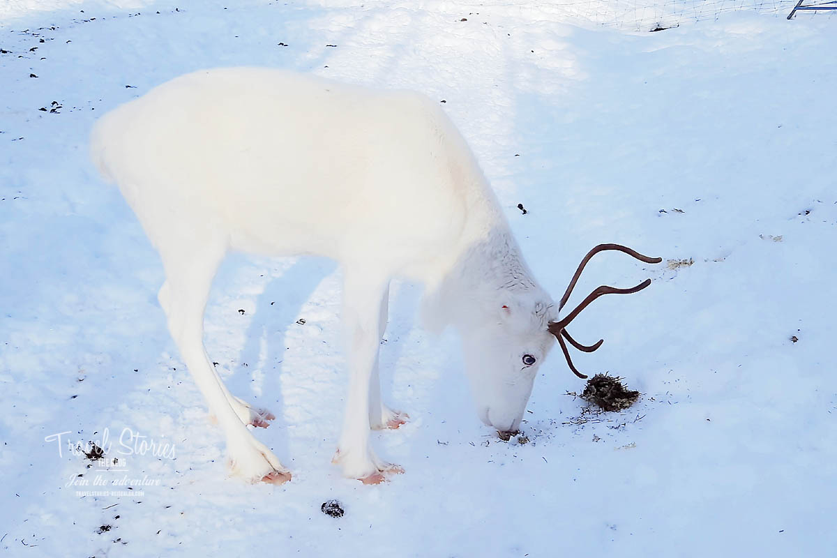 Ein weißes Rentierkalb ©Sabine Mey-Gordeyns, travelstories-reiseblog.com